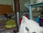 自家繁殖纯种小猫出售