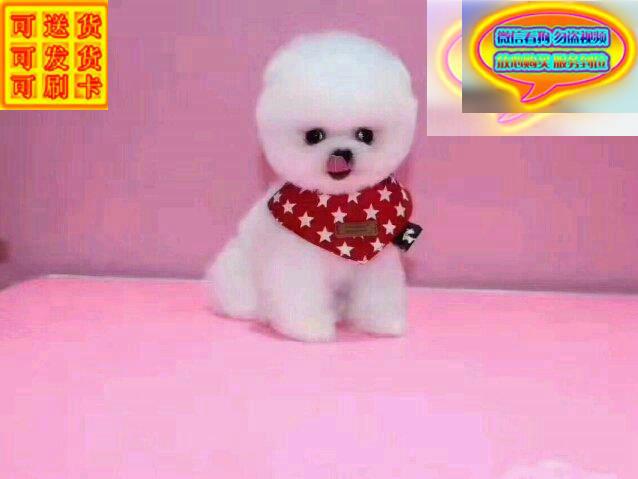 纯种哈多利版球体博美幼犬 超可爱 完善服务