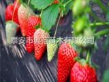 京藏香草莓苗价格 京藏香草莓苗 品种介绍