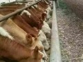 山西最新西门塔尔牛犊价格