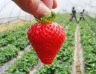 常山草莓采摘园