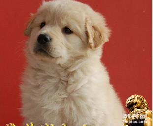 宁波哪里有健康的金毛犬出售 宁波金毛犬价格