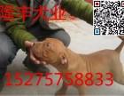 比特犬多少钱出售纯种大体比特幼犬