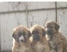 高加索犬价格 圣伯纳犬价格 大丹犬价格 幼犬价格