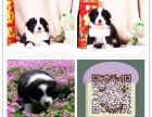 上海边境牧羊犬多少钱 上海边境牧羊犬出售 上海纯种边牧价格