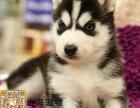 宠物狗家养纯种哈士奇,绝对健康 包健康,欢迎上门挑选