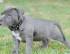 意大利纯种赛级卡斯罗幼犬出售/签协议/包纯种/包健康
