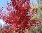 大连美国红枫,大连苗圃出售美国红枫