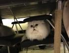 金吉拉长毛幼猫