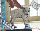 哪里可以买到健康的斑点狗可以签协议的那种