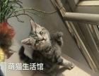 山西太原萌猫生活馆---美短虎斑出窝找新家