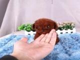 脸型甜美大眼睛的泰迪犬找爸爸妈妈 可视频看实物