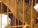 长期出售贵州凯里精品画眉唱鸟