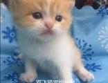 上海广州深圳北京英短猫哪里买 淘宝搜:双飞猫