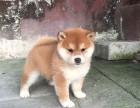 兰州出售纯种柴犬 兰州柴犬多少钱一只 柴犬图片 柴犬价格