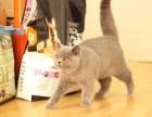 厦门哪里有蓝猫卖 蠢萌型 健康无廯送货上门 支持空运
