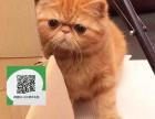 南阳哪里开猫舍卖加菲猫 去哪里可以买得到纯种加菲猫