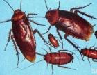 深圳除虫专家专业除蚁 灭老鼠 灭蟑螂 除臭虫等
