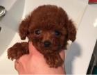上海玩具体,纯种泰迪幼犬,大毛量好脸型 保证健康纯种道