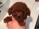 长不大泰迪犬 红贵宾 袖珍迷你茶杯犬茶杯泰迪犬小型犬宠物狗狗