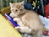 漂亮小橘猫转让