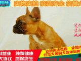 斗牛犬幼犬 纯种家养斗牛犬登场 质量保 欢迎上门