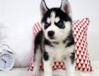 哪里有卖哈士奇哈士奇多少钱哈士奇图片哈士奇幼犬