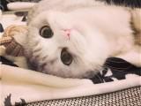 随州赛级海双布偶猫幼猫 猫咪活物可爱小型纯种