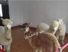 浙江杭州出租羊驼 羊驼出租 国庆羊驼租赁
