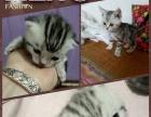 自家繁殖银虎斑猫
