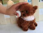 出售小型韩国贵宾犬.包健康纯种.公母都有