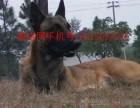 马犬成年的标准肩高马犬怎么训练马犬的价格马犬的图片
