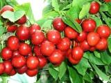 大樱桃苗哪里有卖的大樱桃苗批发价格