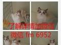 英短银渐层母 纯种英短蓝猫 纯种 幼猫英短蓝猫幼猫纯种