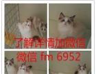 英短蓝猫 纯种 英短蓝白幼猫 英短蓝白活体宠物猫英短银渐层