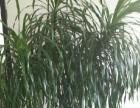 开业送礼 搬家 植物(龙雪兰)