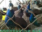 岳阳生态园有养殖孔雀的吗 一只尾巴长的孔雀多少钱 哪里有卖的