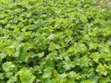 葡萄苗基地,优惠的葡萄苗出售