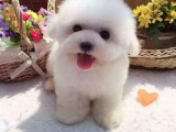 安阳大型养犬基地常年出售各种宠物狗狗幼犬