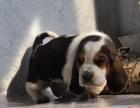 中国专业繁殖双血统巴吉度犬舍 可以上门挑选