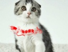 美国短毛猫家养纯种活体银虎斑加白折耳 宠物猫幼猫