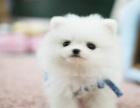 本犬舍承诺在本犬舍购买幼犬有四大保障博美犬