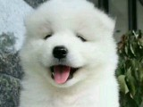 微笑天使薩摩耶 甜美萌系愛犬將治愈你的心