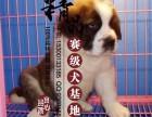 天津哪里卖纯种圣伯纳幼犬