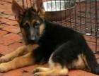 出售大骨架的拉布拉多犬幼犬 纯种三个月拉布拉多犬多少钱