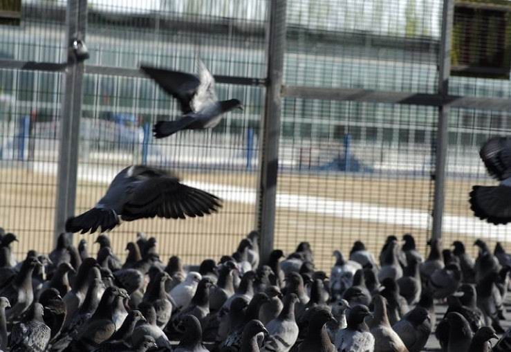 全都封环的特比公棚俱乐部协会都有 决赛的鸽子