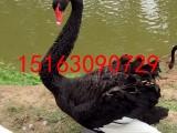 哪里出售黑天鹅,多少钱一只小黑天鹅,黑天鹅价格
