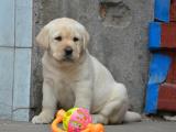 狗市可以买到纯种拉布拉多吗 多少钱一只