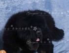 藏獒幼犬出售宽阔的鼻子北京藏獒转让燕都犬舍