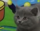 出售蓝猫,蓝白,渐层,加菲,布偶